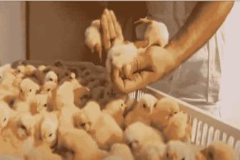 Tres millones de aves a punto de morir por desabastecimiento