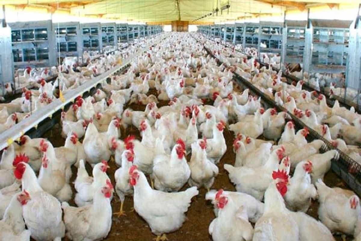 Colombia, ¡a exportar pollos! 25