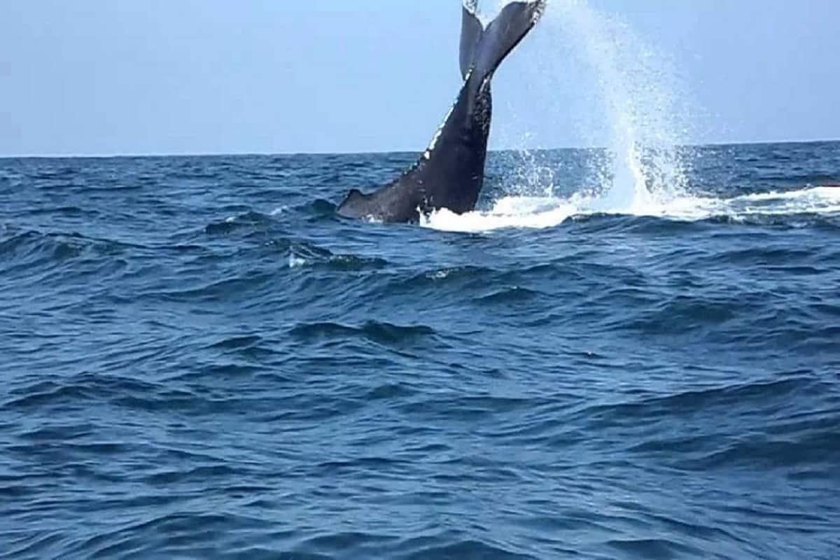 ¡Ballenas llegan al Pacífico!, inician avistamientos 30