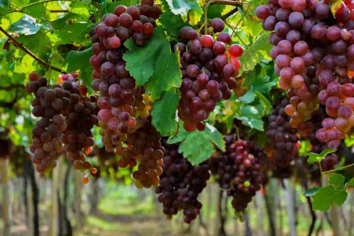 La Unión, municipio vallecaucano con los mejores vinos que embriaga con su paisaje 5